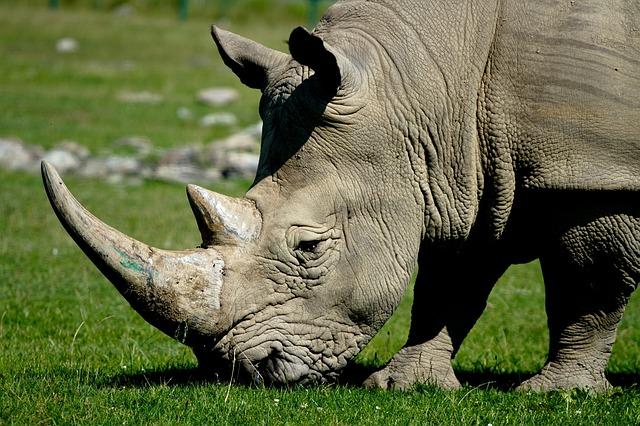 hlava nosorožce
