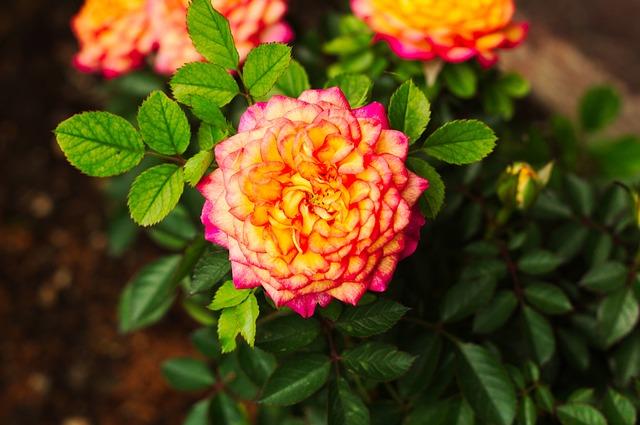 Malokvětá růže